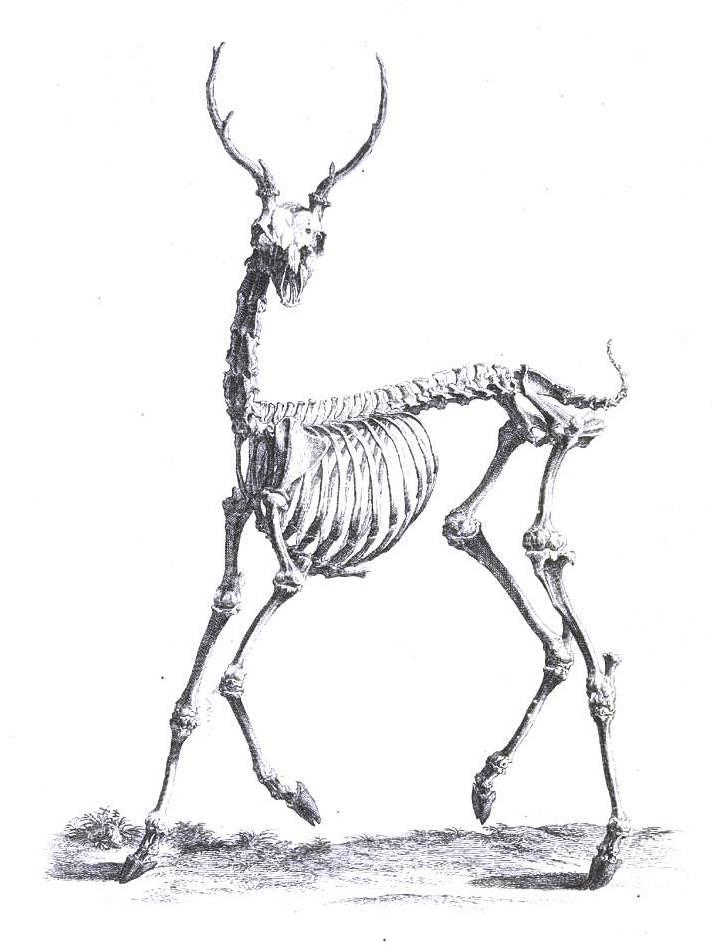 Dynamic Drawing » Archive » Animal-Deer-Skeleton