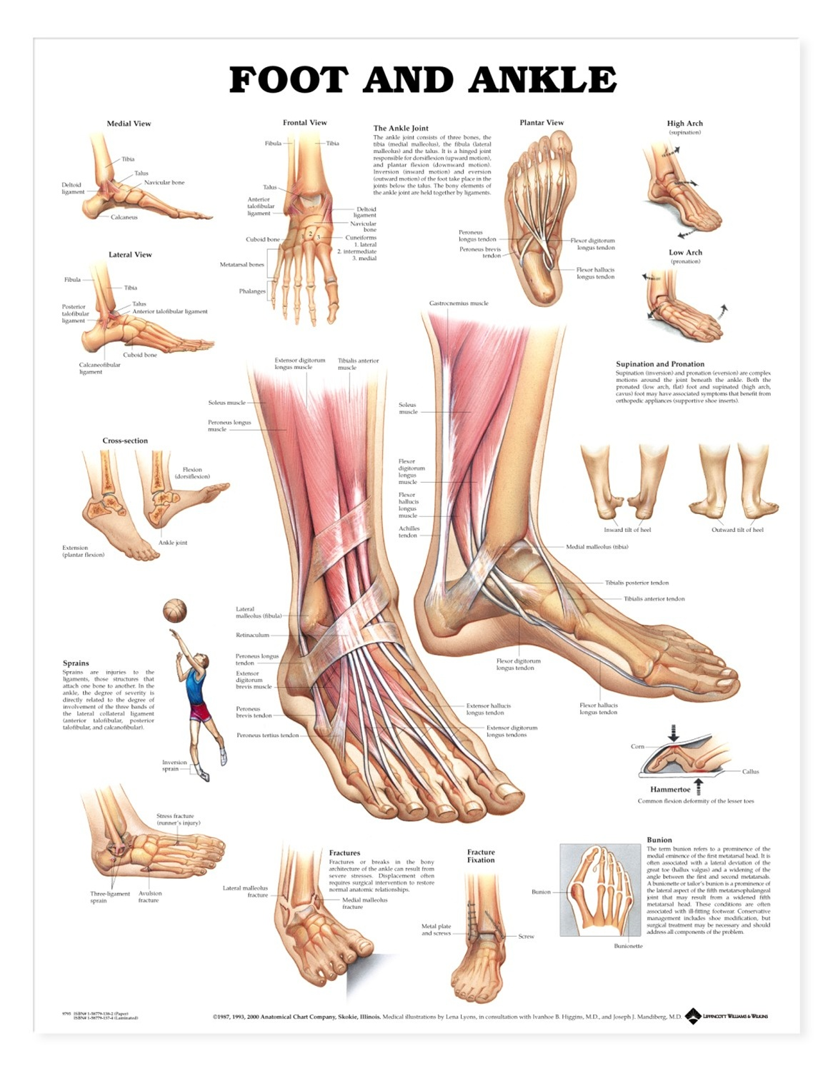 Dynamic Drawing Archive Foot Ankle Anatomy Photo Mnqt
