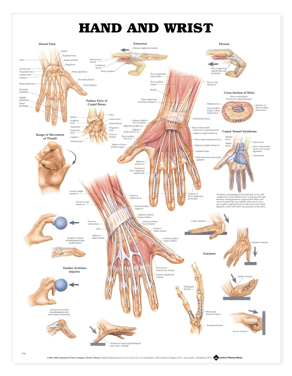Dynamic Drawing Archive Anatomy Of The Hand Bones